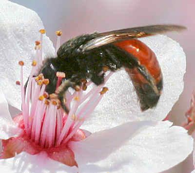 Bee - Andrena prima - female
