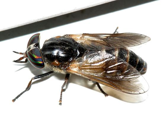 Horse Fly - Hybomitra hinei - female