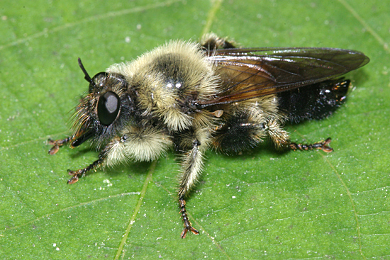 Robber Fly - Laphria sacrator