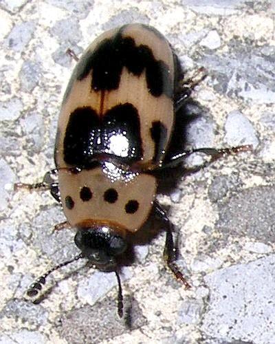 orange beetle - Ischyrus quadripunctatus