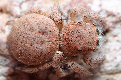 Pink Jumping Spider - Habronattus ustulatus - female