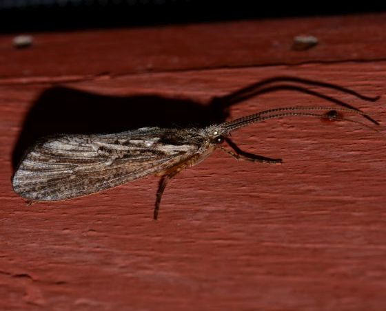 What kind of caddisfly?