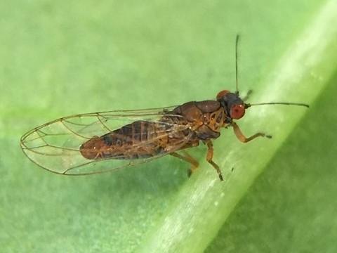 Ficus leaf-rolling psyllid male - Trioza brevigenae - male