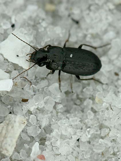Ground Beetle? - Selenophorus fossulatus