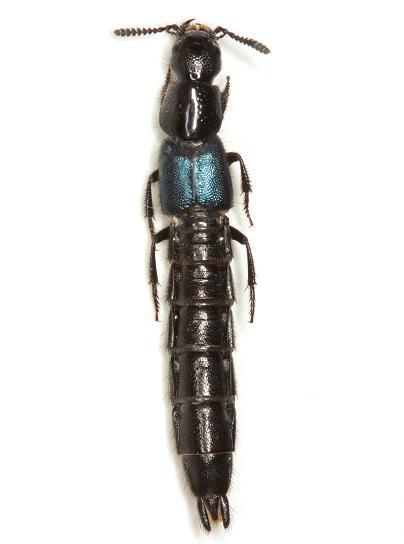 Flohria subcoerulea (LeConte) - Flohria subcoerulea