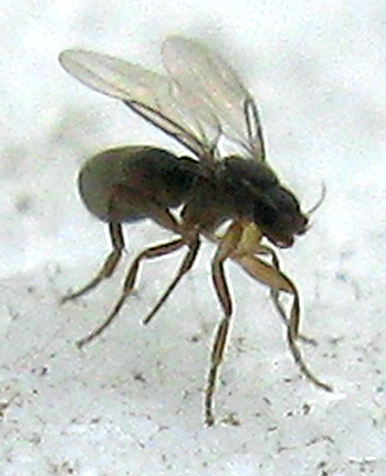 Scuttle Fly - Metopina