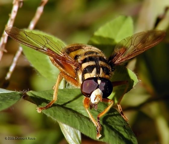 Yellowjacket Hoverfly - Milesia virginiensis - male