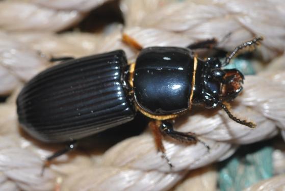 Horned Passalus - Odontotaenius disjunctus