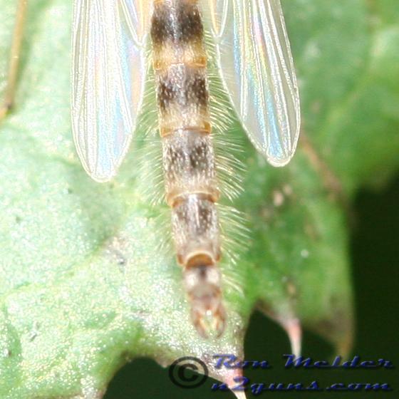 Midge Fly - Chironomus - male