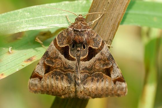 Moth? - Euclidia cuspidea