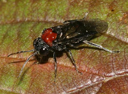 sawfly - Eriocampa ovata