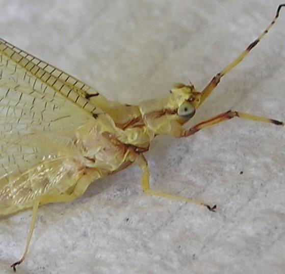 Yellow Mayfly