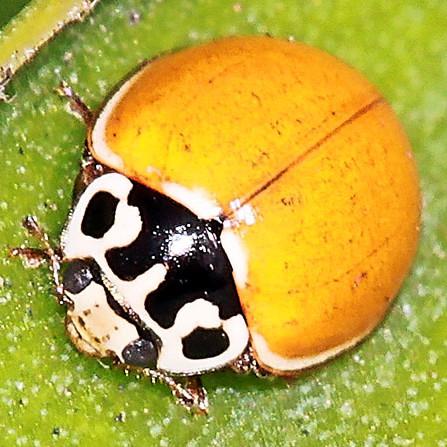 Small Ladybug - Cycloneda polita - male