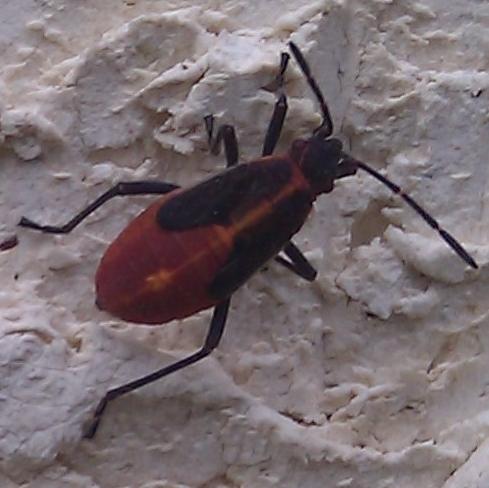 Boxelder bugs?  - Boisea trivittata