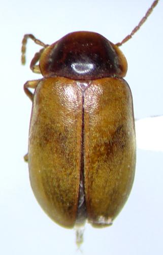 Microcara explanata - female