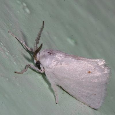 moth - Alarodia slossoniae