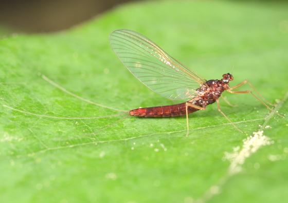 Reddish mayfly - Paraleptophlebia praepedita