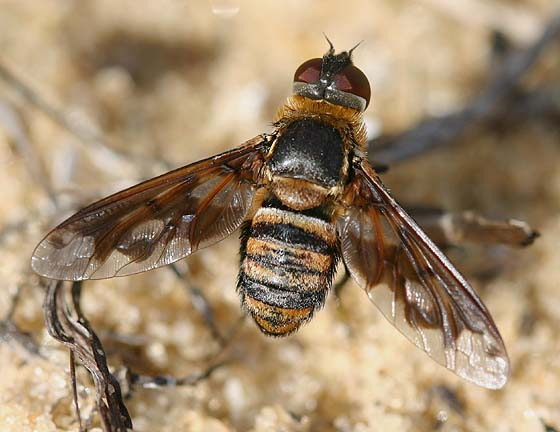 Lesser Bee Fly - Exoprosopa fascipennis