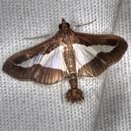 Diaphania Moth - Hodges #5205 - Diaphania modialis