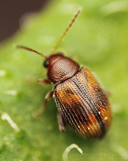 Tiny Brown Beetle - Epitrix fasciata