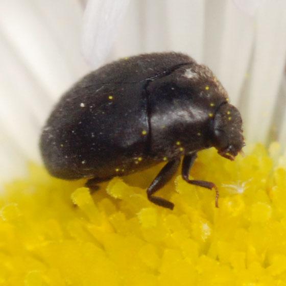 dermestid beetle - Cryptorhopalum triste