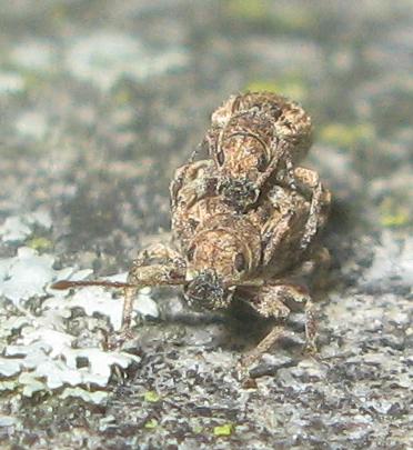 Oriental Broad-Nosed Weevil - Pseudoedophrys hilleri - male - female