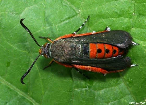 Squash Vine Borer - Melittia cucurbitae - female