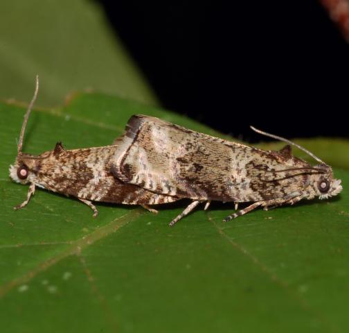 Mating moths - Olethreutes appendiceum - male - female