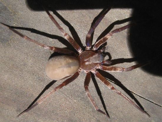 Probably a Titiotus species? - Titiotus