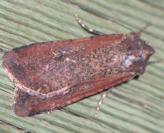 red and gray dart - Peridroma saucia