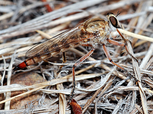Palominas robber fly - Proctacanthella
