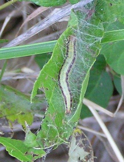 Poison Ivy Cat 2 - Macalla zelleri