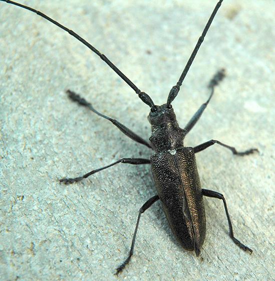 Borer/Sawyer? - Monochamus scutellatus