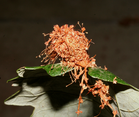 Tortricidae, conglomeration of flower parts - Choristoneura rosaceana