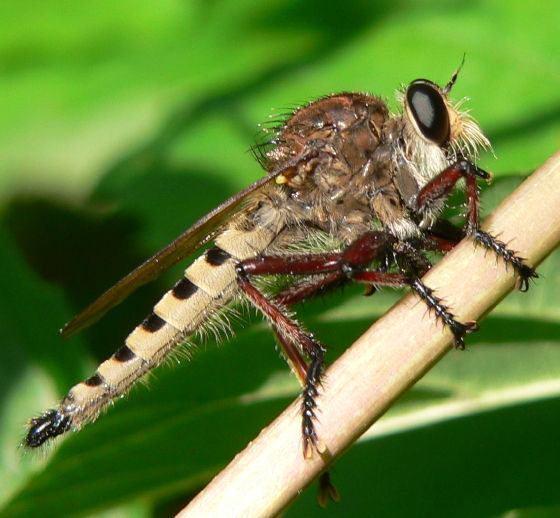 Robber fly - Promachus hinei - male