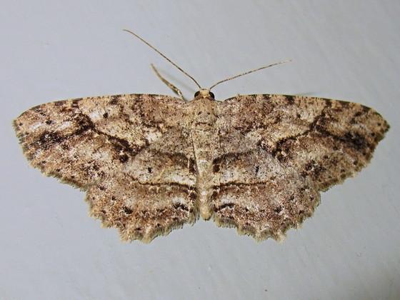 Hodges #6620 - Canadian Melanolophia - Melanolophia canadaria - female