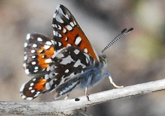 Behr's Metalmark for California in March - Apodemia virgulti - male