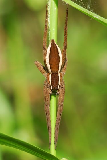 spider - Pisaurina brevipes - female