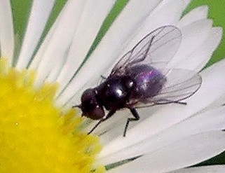 small black fly
