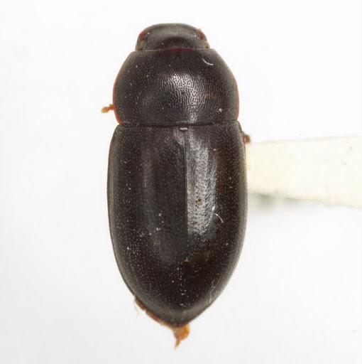 Hylocrinus