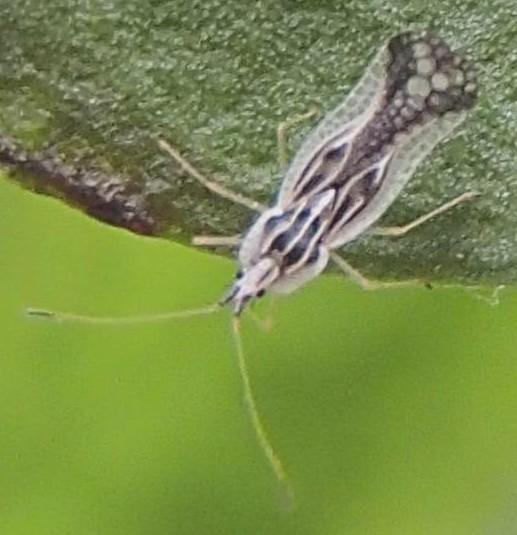 Lace Bug - Leptopharsa heidemanni