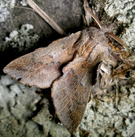 lappet moth - Phyllodesma americana