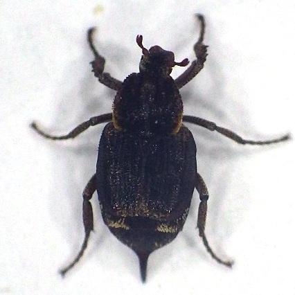 Valgus seticollis or V. canaliculatus? - Valgus seticollis
