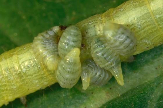 Larva, parasitoidsX - Euplectrus