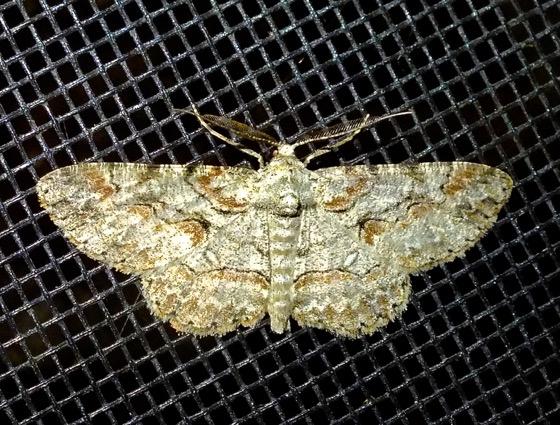 Brown-shaded Gray Moth - Iridopsis defectaria