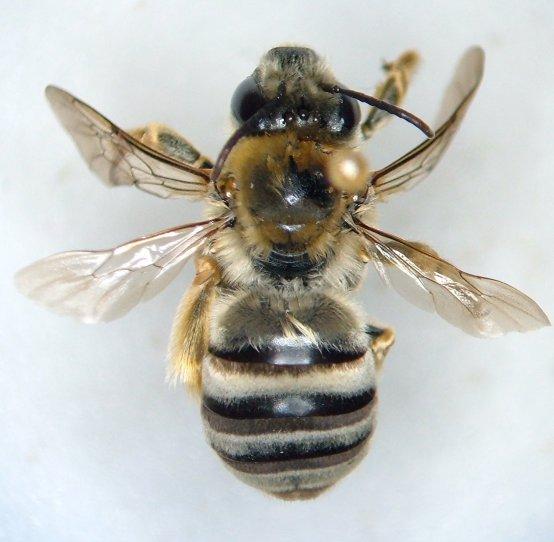 Bee - Eucera hamata - female
