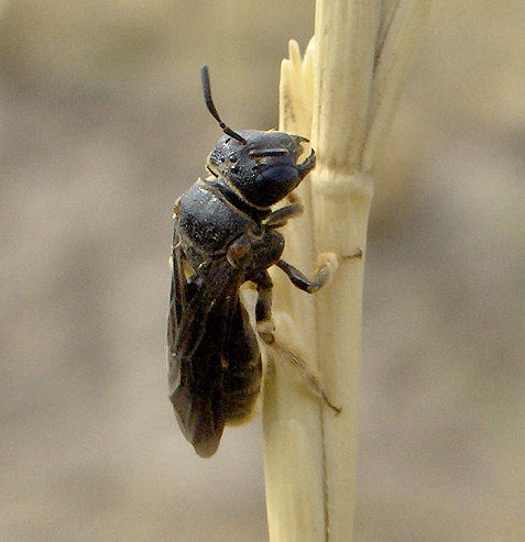 Little bee or wasp - Pseudopanurgus aethiops - female