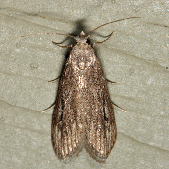 Terrenella Bee Moth - Aphomia terrenella