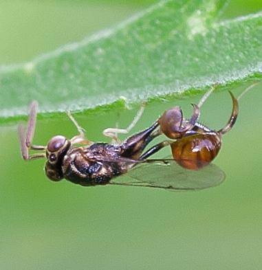 Unknown Wasp - Conura