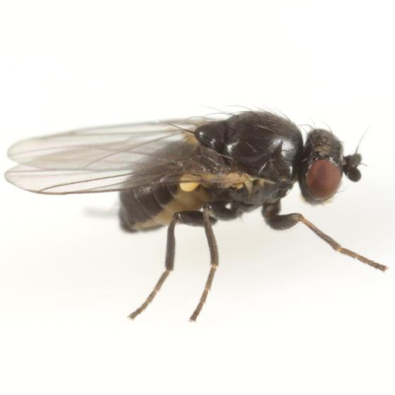 Phytomyza erigeronis - male